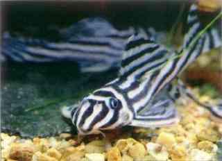 Хипанциструс зебра (Hypancistrus zebra) нуждается в тщательной карантиннои обработке