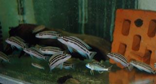 Молодь C. popelini в выростном аквариуме