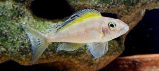 "Xenotilapia spilopterus ""Mabilibili"""