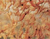 Артемия (Artemia Salina)
