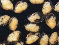 ������ (Dafnia magna � �.�.)
