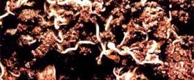 Энхитреи (white worm)