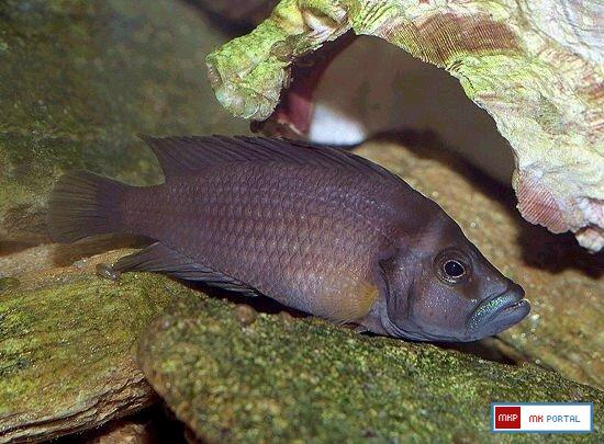 altolamprologus_sp